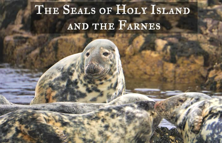 Grey Seals on Holy Island and the Farnes